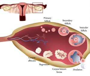 Female-Ovary-Showing-Ovulation